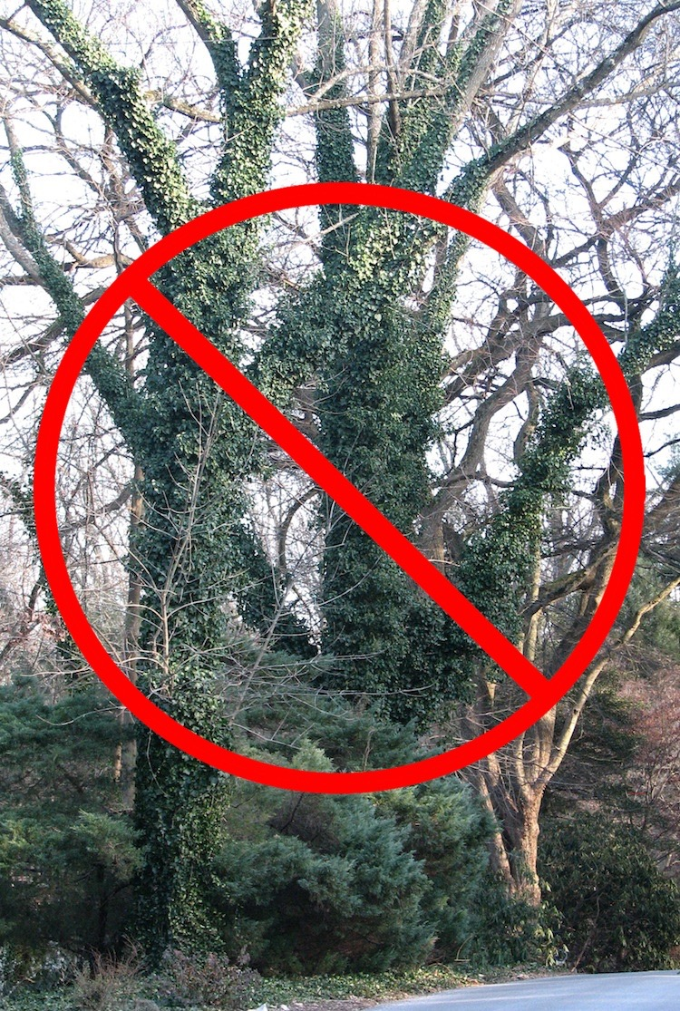 Why Remove English Ivy Rose Valley